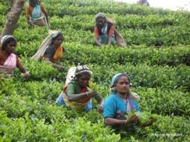 tea_plantation_sri_lanka