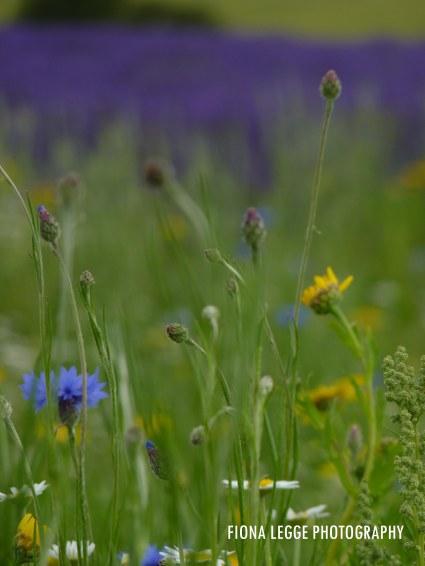 wild_flower_meadow
